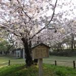 弘前公園の桜