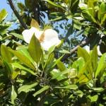 泰山木の花
