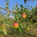 アップルヒルズの林檎畑