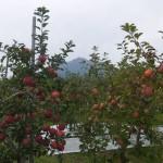 りんごの季節です