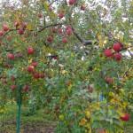 豊作になったりんご