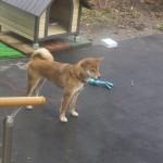 やってきた愛犬サラ
