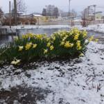 波岡教会の水仙に雪が降る
