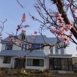波岡の梅が咲いていました