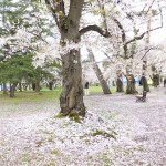 弘前公園の花むしろ