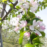りんごな花が花盛り!!