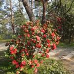 ツツジも同時に咲きます
