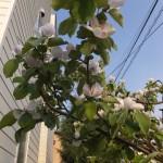 マルメロの花