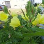 月見草の花