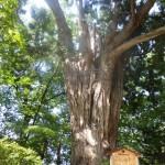 ねずこの木