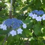 ガクアジサイも咲きました