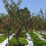 りんごの最盛期へ