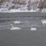 白鳥の季節