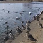 まだ越冬中の白鳥がいました。
