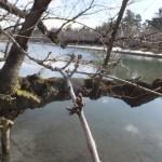 弘前公園の桜のつぼみ。今の状態