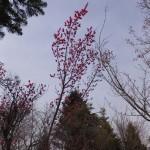 梅が咲いていました