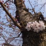 胴ぶきの桜開花