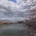 弘前公園の桜:西堀