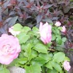 浪岡教会のバラ