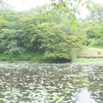弘前公園の蓮