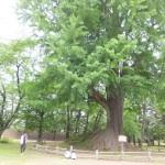 弘前公園の大木