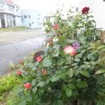 浪岡のバラ