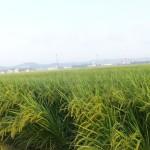 稲の香りが